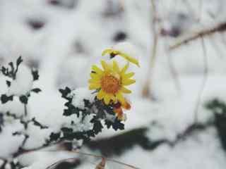 冬日里的小黄花图片高清壁纸