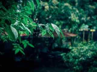 雨后鼓浪屿树上水