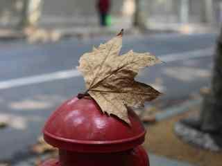 唯美秋天枫叶图片