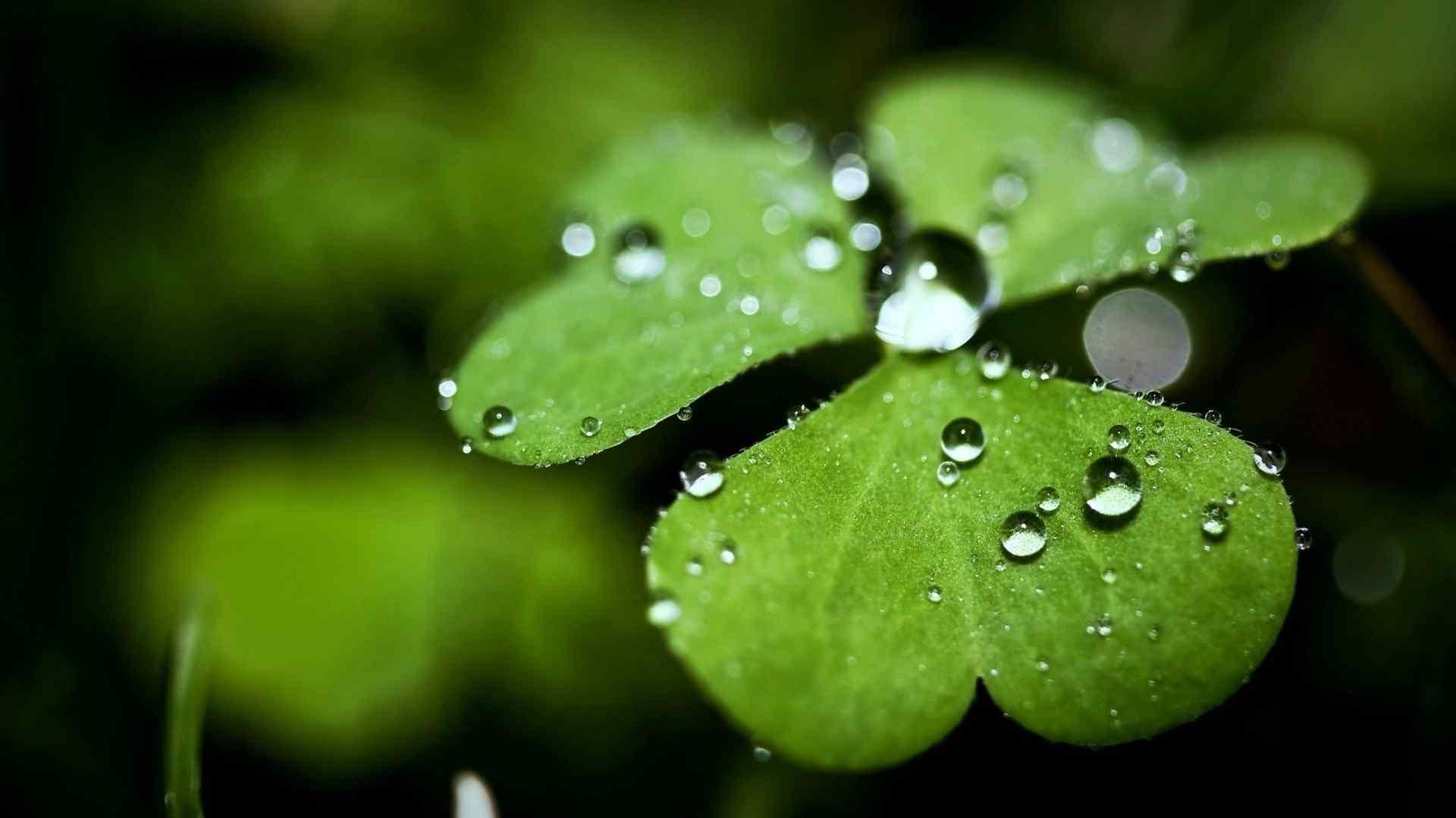 唯美绿色三叶草桌面壁纸