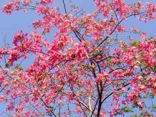 唯美盛开的美人树