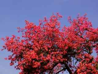 美丽火红的美人树