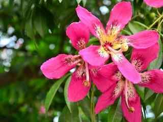 鲜艳的美人树花图