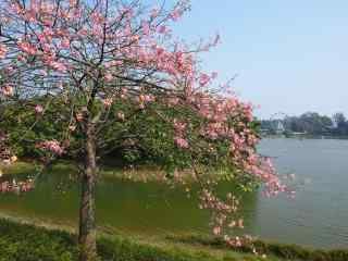 河岸边的美人树图