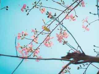 文艺的美人树开花
