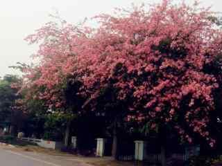枝繁叶茂的美人树