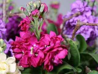 紫罗兰花图片壁纸