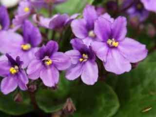 唯美的朦胧紫罗兰花图片壁纸