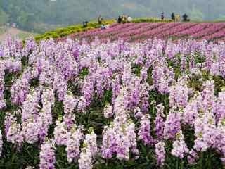 唯美紫罗兰花海桌面壁纸
