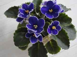 美丽盛开的紫罗兰花朵图片