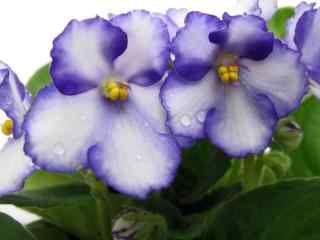 小清新紫罗兰花图片
