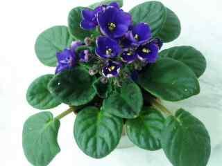 淡雅唯美紫罗兰花桌面壁纸