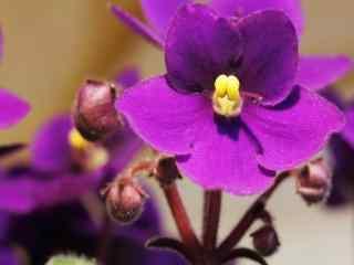 好看的盛开的紫罗兰花朵图片