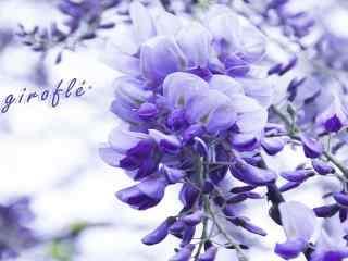 唯美的紫罗兰花朵植物图片