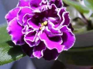 灿烂盛开的紫罗兰植物图片