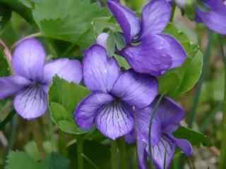 可爱的紫罗兰花桌面壁纸