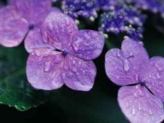 美丽的紫罗兰桌面壁纸