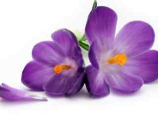 可爱的紫罗兰花图片壁纸
