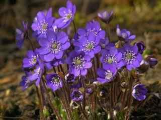 阳光下盛开的紫罗兰桌面壁纸