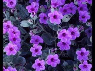 紫色唯美的紫罗兰花朵图片