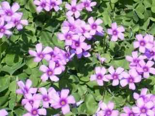 可爱小清新紫罗兰花桌面壁纸
