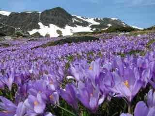 超级唯美的紫罗兰花海图片