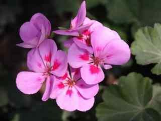 紫红色的紫罗兰花图片壁纸