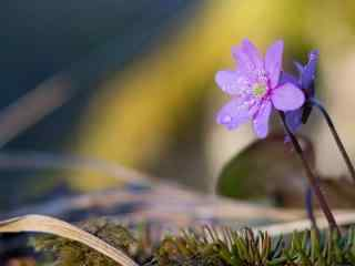 一朵美丽的紫罗兰花桌面壁纸