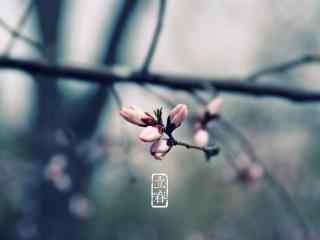 立春节气壁纸之含苞待放的粉色梅花