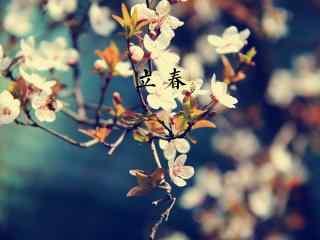 立春节气壁纸之傲然开放的梅花图片