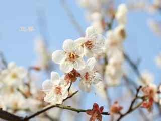 2017年立春节气壁纸之盛开的白色梅花图片