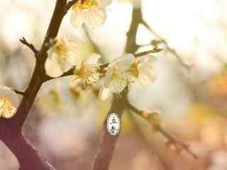 立春节气壁纸之阳光下唯美的梅花图片