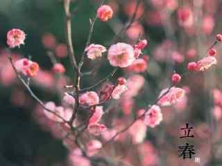 立春节气之粉色的梅花图片桌面壁纸