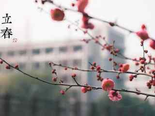 立春节气之盛开的梅花图片桌面壁纸