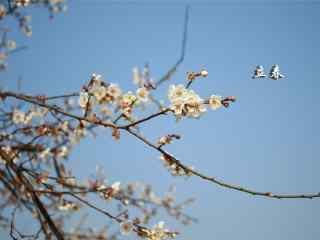 2017年立春节气之盛开的白色梅花图片