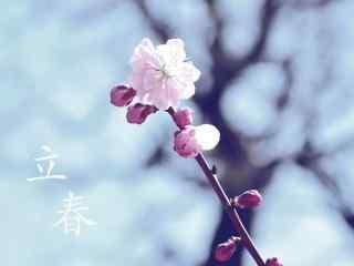 2017年立春节气之盛开的粉白色梅花