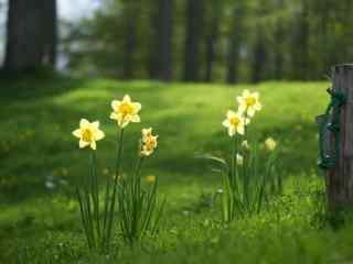 草地里的白色小花