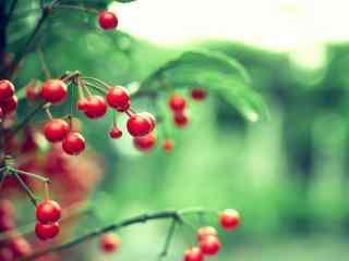 红色的樱桃与绿叶唯美映衬图片高清桌面壁纸
