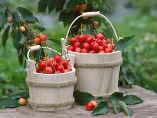 清新果园里的樱桃图片桌面壁纸