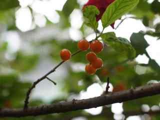 樱桃树唯美图片桌面壁纸