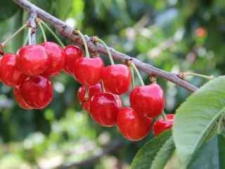 樱桃树上的小樱桃图片高清桌面壁纸