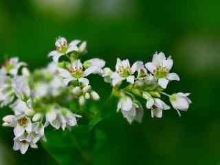 美丽的白色荞麦花图片