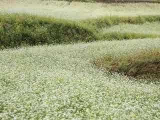 美丽的白色荞麦花海