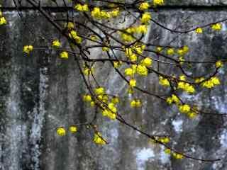 山石中盛开的腊梅花桌面壁纸