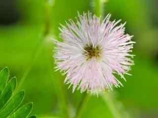 一朵盛开的含羞草花图片