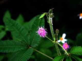 含羞草花摄影图片