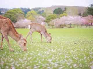 樱花树下的奈良鹿桌面壁纸