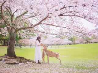 樱花树下的少女喂食奈良鹿桌面壁纸