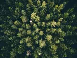 绿色护眼松树林桌面壁纸