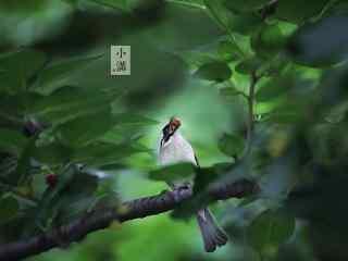 小满树枝上的小鸟桌面壁纸